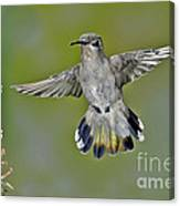 Costas Hummingbird Canvas Print