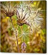 Cotten Grass Canvas Print