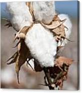 Cotton Bolls  Canvas Print