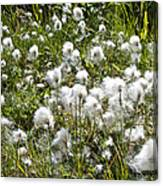 Cotton Grass On Homestead Trail In Homer-ak- Canvas Print