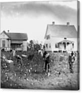 Cotton Picking, 1902 Canvas Print