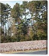 Cotton Season Canvas Print