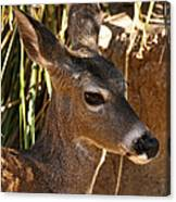 Coues White-tailed Deer - Sonora Desert Museum - Arizona Canvas Print