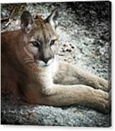Cougar Country Canvas Print