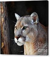 Cougar Fascination Canvas Print