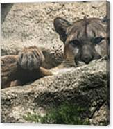 Cougar Spotted Me Canvas Print