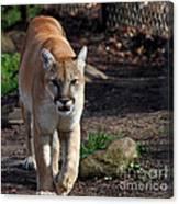 Cougar Walking Towards You Canvas Print