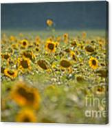 Country Sunflowers Canvas Print