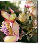 Couroupita Guianensis - Cannonball Tree Flowers Canvas Print