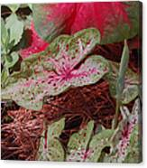Courtyard Caladium Canvas Print