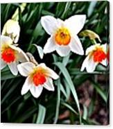 Covenant Daffodils Canvas Print