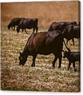 Cow And Calf Grazing Canvas Print