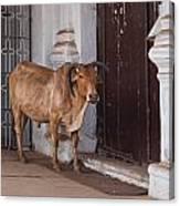 Cow At Church At Colva Canvas Print