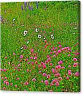 Cow Clover And Ox-eye Daisies On Campobello I Canvas Print