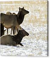 Cow Elk   #0460 Canvas Print