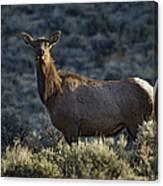 Cow Elk    #7533 Canvas Print