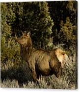 Cow Elk   #7582 Canvas Print