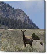 Cow Elk   #9488 Canvas Print