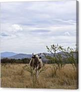Cow In Pasture Canvas Print