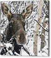 Cow Moose Among Snow Covered Trees In Canvas Print