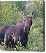 Cow Moose Portrait Canvas Print