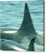 Cow Orca And Her Calf Canvas Print