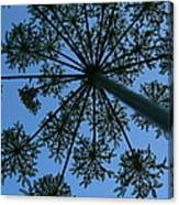 Cow Parsley Outlined Against A Summer Sky Canvas Print