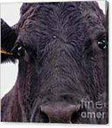 Cow Pretending To Be A Bull Canvas Print