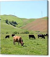 Cows Along The Rolling Hills Landscape Of The Black Diamond Mines In Antioch California 5d22355 Canvas Print