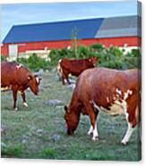 Cows Grazing On Pasture Canvas Print