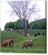 Cows In Rolling Hills Canvas Print
