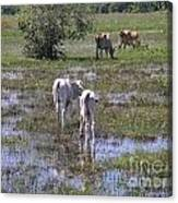 Cows In The Pantanal Canvas Print