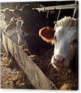 Cows Looking Out Of A Barn Canvas Print