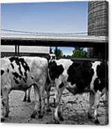 Cows Peek A Boo Canvas Print