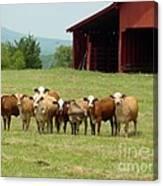 Cows8918 Canvas Print