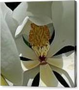 Coy Magnolia Canvas Print