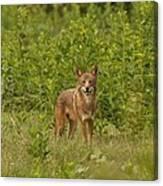 Coyote Happy Canvas Print