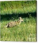 Coyote In Boulder Higlands Canvas Print