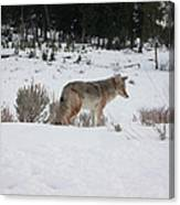 Coyote In Crossing Canvas Print
