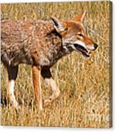 Coyote In Rocky Mountain National Park Canvas Print