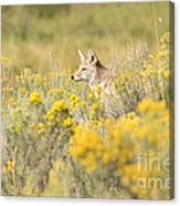 Coyote In The Chamisa Canvas Print