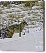 Coyote In The Snow Canvas Print
