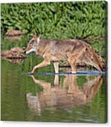 Coyote Looking For Breakfast Canvas Print