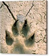 Coyote Print Canvas Print