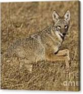 Coyote Running Canvas Print