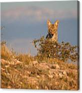 Coyote Watching Canvas Print