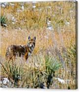 Coyotes Canvas Print