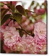 Crab Apple Blossoms Canvas Print