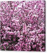 Crab Apple Tree Canvas Print