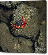 Crab Cake Canvas Print